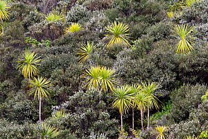 Cabbage / Palm Lily trees (Cordyline australis) amongst flowering manuka (Leptospermum scoparium) bushes. Tiritiri Matangi Island, Auckland, New Zealand, September.  -  Brent Stephenson