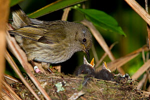 Female Stitchbird (Notiomystis cincta) feeding North Island Robin (Petroica longipes) chicks. This is the first record of such behaviour for this species, feeding another unrelated species chicks. Tir... - Brent Stephenson