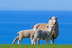 Domestic Sheep (Ovis aries) ewe and two lambs, probably Romney x Perendale. Unshorn. Cape Kidnappers, Hawkes Bay, New Zealand, September.  -  Brent Stephenson