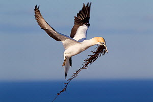 Male Australasian Gannet (Morus serrator) flying with seaweed for use as nesting material. Cape Kidnappers, Hawkes Bay, New Zealand, September. - Brent Stephenson