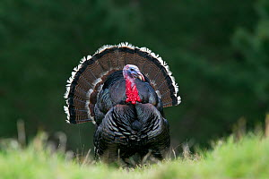 Male Wild Turkey (Meleagris gallopavo) displaying with tail spread. Cape Kidnappers, Hawkes Bay, New Zealand, September. - Brent Stephenson