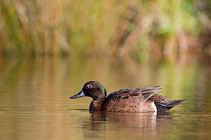Male Brown Teal (Anas chlorotis) on pond. Cape Kidnappers, Hawkes Bay, New Zealand, October.  -  Brent Stephenson