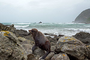 New Zealand Fur Seal (Arctocephalus forsteri) hauled out on rocks with a rough sea in the background. Kaikoura coast, Canterbury, New Zealand, October.  -  Brent Stephenson