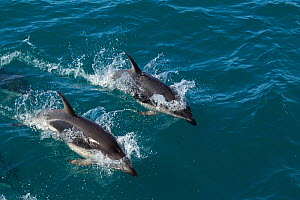 Dusky Dolphins (Lagenorhynchus obscurus) porpoising as they swim beside a boat. Off Kaikoura, Canterbury, New Zealand, October.  -  Brent Stephenson