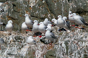 Red-billed Gulls (Chroicocephalus scopulinus), both adults and juveniles, roosting on cliff. Near Kaikoura, Canterbury, New Zealand, October.  -  Brent Stephenson