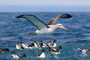 Salvin's Albatross (Thalassarche salvini) coming in to land on the sea with flock of Cape Petrels (Daption capense) feeding below. Characteristic underwing is visible. Off Kaikoura, Canterbury, New Ze...  -  Brent Stephenson