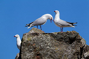 Red-billed gulls (Chroicocephalus scopulinus) calling and displaying from a rock. Ohau Point, Canterbury, New Zealand, October.  -  Brent Stephenson