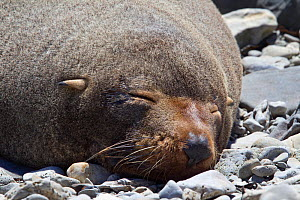 New Zealand Fur Seal (Arctocephalus forsteri) asleep on beach. Kaikoura, Canterbury, New Zealand, October.  -  Brent Stephenson