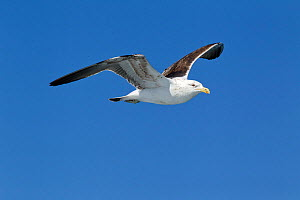 Immature Kelp / Southern Black Backed Gull (Larus dominicanus) in flight against a blue sky. Off Kaikoura, Canterbury, New Zealand, October.  -  Brent Stephenson