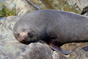 New Zealand Fur Seal (Arctocephalus forsteri) asleep on rocks. Ohau Point, Canterbury, New Zealand, October.  -  Brent Stephenson