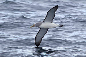 Adult Salvin's Albatross (Thalassarche salvini) in flight low over waves, showing the characteristic underwing pattern. Off Stewart Island, New Zealand, November.  -  Brent Stephenson