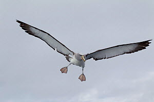 Adult Salvin's (Thalassarche salvini) albatross in flight, flaring its wings and about to land. Off Stewart Island, New Zealand, November.  -  Brent Stephenson