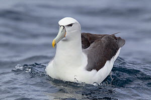Adult white-capped Albatross (Thalassarche steadi) sitting on the water. Off Stewart Island, New Zealand, November.  -  Brent Stephenson