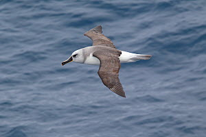 Immature Grey-Headed Albatross (Thalassarche chrysostoma) in flight showing upperwing. Drake Passage, South Atlantic, December. - Brent Stephenson