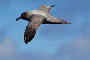 Light-mantled Sooty Albatross (Phoebetria palpebrata) in flight showing upperwing, against sky. Drake Passage, South Atlantic, December.  -  Brent Stephenson