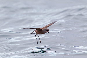 Wilson's Storm-petrel (Oceanites oceanicus) hovering whilst feeding in calm conditions. Cuverville Island, Antarctic Peninsula, Antarctica, December. - Brent Stephenson