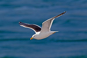 Kelp gull (Larus dominicanus) in flight against the sea. Ushuaia, Southern Argentina, South America, January.  -  Brent Stephenson