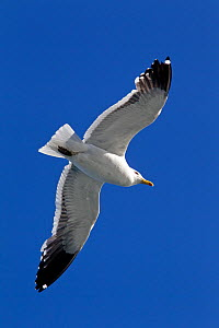 Kelp Gull (Larus dominicanus) in flight against a blue sky. Ushuaia, Southern Argentina, South America, January.  -  Brent Stephenson