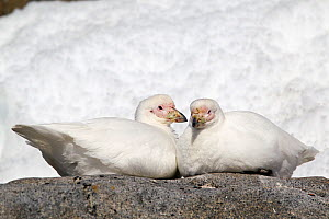 Pair of Snowy Sheathbills (Chionis alba) sitting facing each other on a rock. Port Lockroy, Antarctic Peninsula, Antarctica, January.  -  Brent Stephenson