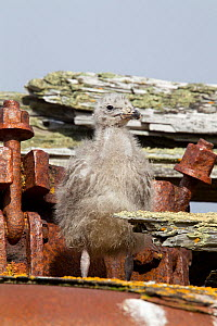 Kelp Gull (Larus dominicanus) chick amongst old whaling equipment. Deception Island, South Shetland Islands, Antarctica, January.  -  Brent Stephenson