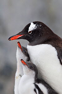 Gentoo Penguin (Pygoscelis papua) with two large chicks. The chicks are begging to be fed by the adult. Petermann Island, Antarctic Peninsula, Antarctica, January. - Brent Stephenson