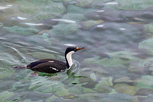 Antarctic Shag (Leucocarbo / Phalacrocorax [atriceps] bransfieldensis) (also known as blue-eyed shag) swiming in clear water. Petermann Island, Antarctic Peninsula, Antarctica, January.  -  Brent Stephenson