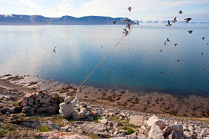 Inuk man catching Little Auks (Alle alle) with a net from their breeding cliffs. The birds are a kiviak delicacy. Near Siorapaluk (the most northerly community in the world), Greenland, June. Freeze f...  -  Doug Allan