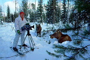 Cameraman Doug Allan on location filming young Moose (Alces alces). Utchka, Siberia, Russia, March 1991. Freeze Frame book plate page 31.  -  Doug Allan