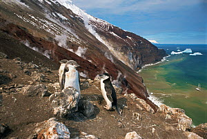 Chinstrap Penguins (Pygoscelis antarcticus) on the slopes of active volcano. Zavodoski Island, South Sandwich Group, Antarctic. Freeze Frame book plate page 157.  -  Doug Allan