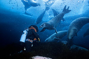 Rick Price filming Crabeater seals (Lobodon carcinophagus) underwater, several seals are pulling kelp from the seabed, Normanna Strait, Signy Island, South Orkney Islands, Antarctica, August, Freeze F...  -  Doug Allan