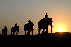 Domesticated Indian elephants (Elephas maximus) being walked to forest at sunset, Pench Tiger Reserve, Madhya Pradesh, India  -  Michael W. Richards