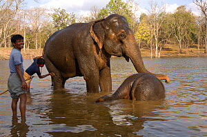 Domesticated Indian elephant (Elephas maximus) mother and young having a bath in water with mahouts, Pench Tiger Reserve, Madhya Pradesh, India, 2006  -  Michael W. Richards