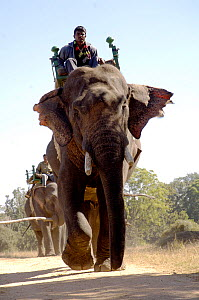 Working Indian elephants (Elephas maximus) with howdahs and Mahouts, Pench National Park, Madhya Pradesh, India, 2005  -  Michael W. Richards