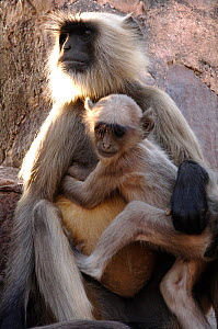 Hanuman / Northern plains grey langur monkey and young (Semnopithecus entellus) India  -  Michael W. Richards