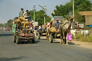 Camel carts and motor transport share the road, Rajasthan, India, 2005  -  Michael W. Richards