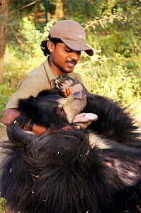 Sloth bear (Melursus ursinus) formerly a dancing bear, used for tourists, now rescued and playing with a keeper, India, 2005  -  Michael W. Richards