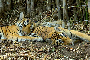Bengal tigers (Panthera tigris tigris) two cubs at rest together, Pench National Park, Madhya Pradesh, India  -  Michael W. Richards