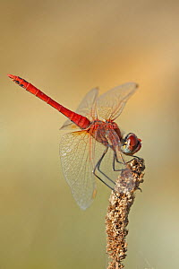 Red-veined darter (Sympetrum fonscolombii) at rest, Alentejo, Portugal, October - Robin Chittenden