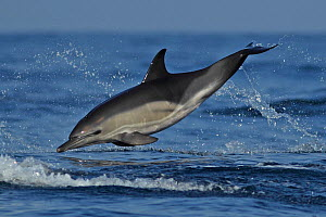 Common dolphin (Delphinus delphis) leaping, Algarve, Portugal, October - Robin Chittenden
