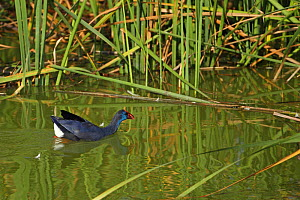 Purple swamphen (Porphyrio porphyrio) amongst reeds, Algarve, Portugal, October  -  Robin Chittenden