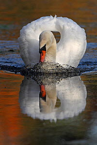 Mute swan (Cygnus olor) on water, Wheatfen, Norfolk, UK, November  -  Robin Chittenden