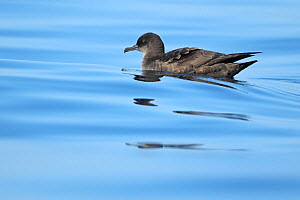 Sooty shearwater (Ardenna / Puffinus grisea) on sea surface, Algarve, Portugal, October  -  Robin Chittenden