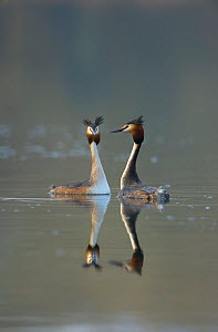 Great crested grebe (Podiceps cristatus) pair of adults during part of their elaborate courtship ritual during the very last few rays of evening sunlight, Derbyshire, UK, March. - Andrew Parkinson / 2020VISION