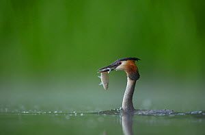 Great crested grebe (Podiceps cristatus) adult in profile with a fish that it has just caught, ~Derbyshire, UK, June  -  Andrew Parkinson / 2020VISION
