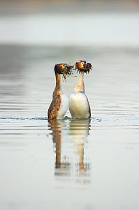 Great crested grebe (Podiceps cristatus) pair performing the 'weed dance,' a spectacular part of their elaborate courtship ritual, Derbyshire, UK, March - Andrew Parkinson / 2020VISION
