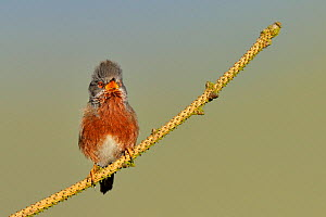 Dartford warbler (Sylvia undata) male perched, singing, Wales, UK, May  -  Andy Rouse / 2020VISION