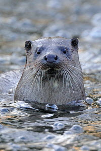 European river otter (Lutra lutra) portrait, in river, Dorset, UK, November - Andy Rouse / 2020VISION