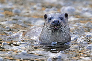European river otter (Lutra lutra) portrait, in river, Dorset, UK, November. Did you know? Baby otters can't swim until they are 2 months old.  -  Andy Rouse / 2020VISION