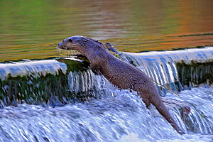 European river otter (Lutra lutra) climbing to the top of a weir, river, Dorset, UK, November - Andy Rouse / 2020VISION