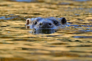European river otter (Lutra lutra) swimming with head above water, river, Dorset, UK, November  -  Andy Rouse / 2020VISION